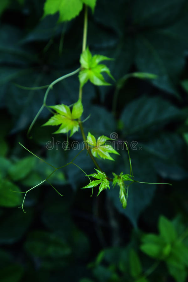 Virginia-Kriechpflanze stockfotografie