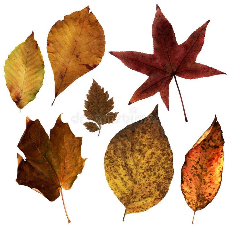 Virginia Leaves (3) royalty free stock photo