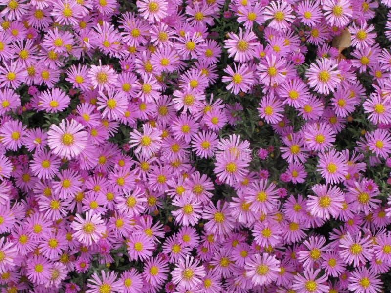 Virginia lub Symphyotrichum novi-belgii obrazy royalty free