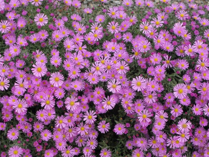 Virginia lub Symphyotrichum novi-belgii zdjęcia stock