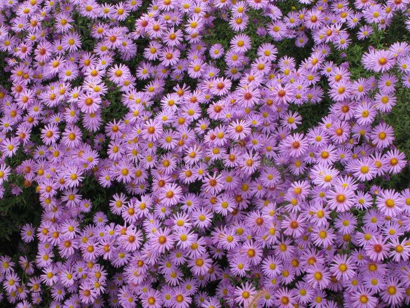 Virginia lub Symphyotrichum novi-belgii zdjęcie royalty free