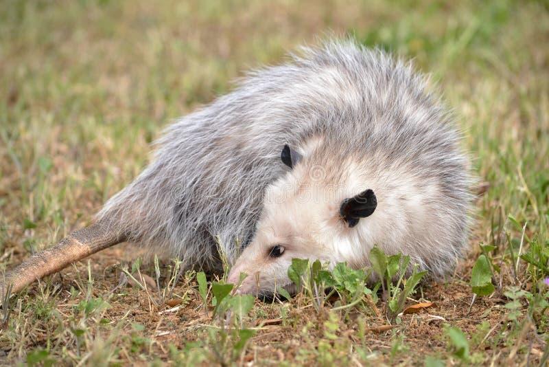 Virginia Opossum photographie stock libre de droits