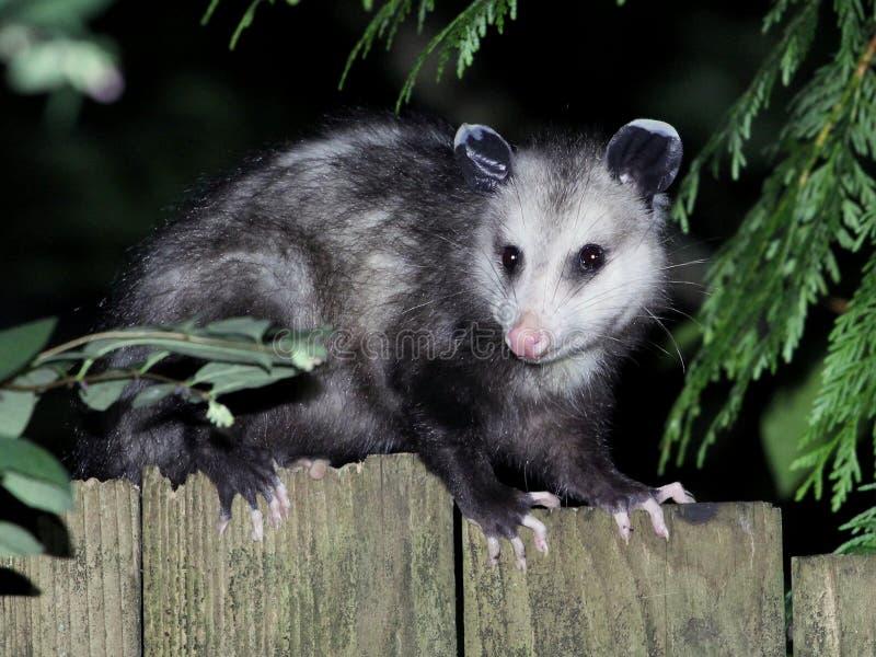 Virginia Opossum alla notte immagine stock