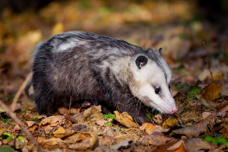 The Virginia opossum, Didelphis virginiana, in autumn park. The Virginia or North American opossum, Didelphis virginiana, in autumn park royalty free stock images