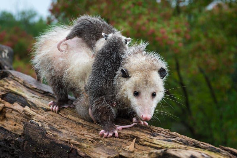 Virginia Opossum Didelphis virginiana transporte Joeys Down Log Summer photographie stock libre de droits