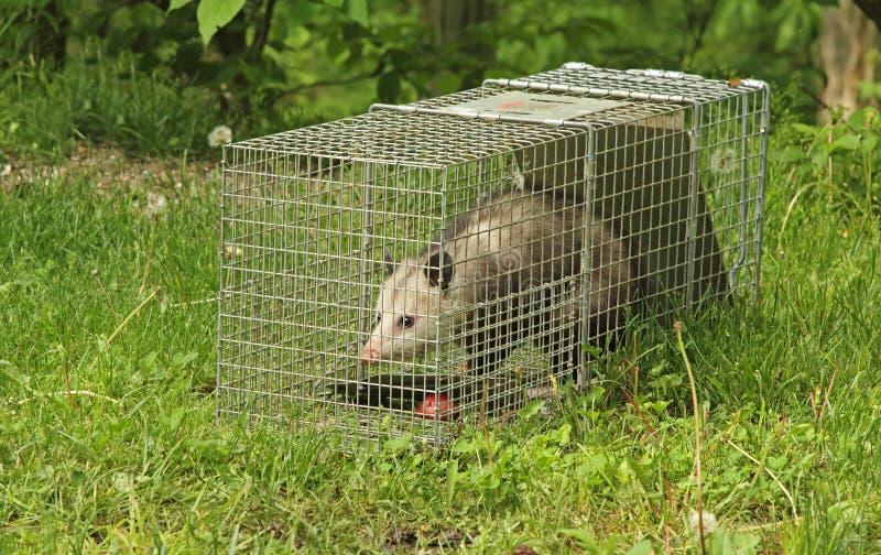 Virginia Opossum emprisonnée photos stock