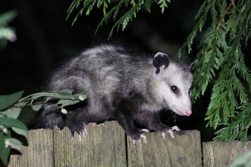 Virginia Opossum en una cerca imagenes de archivo