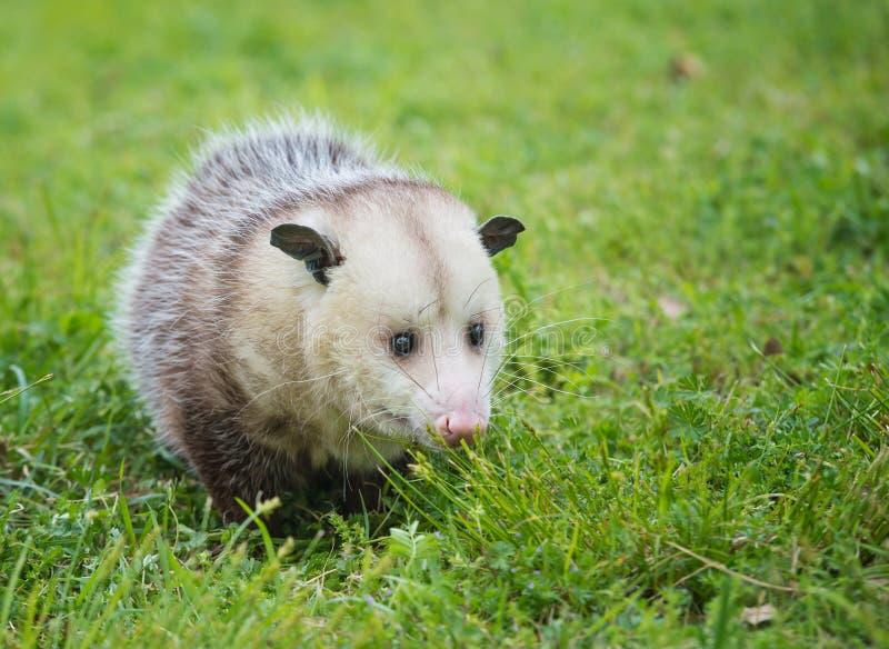 Virginia Opossum forageant pour la nourriture dans l'herbe photo stock