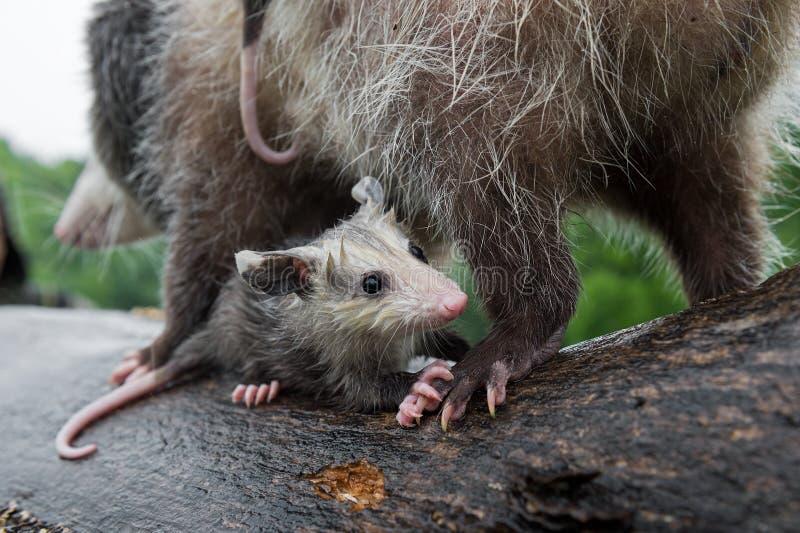 Virginia Opossum Joey Didelphis virginiana s'accroche aux mères de retour Été de la semaine photo libre de droits