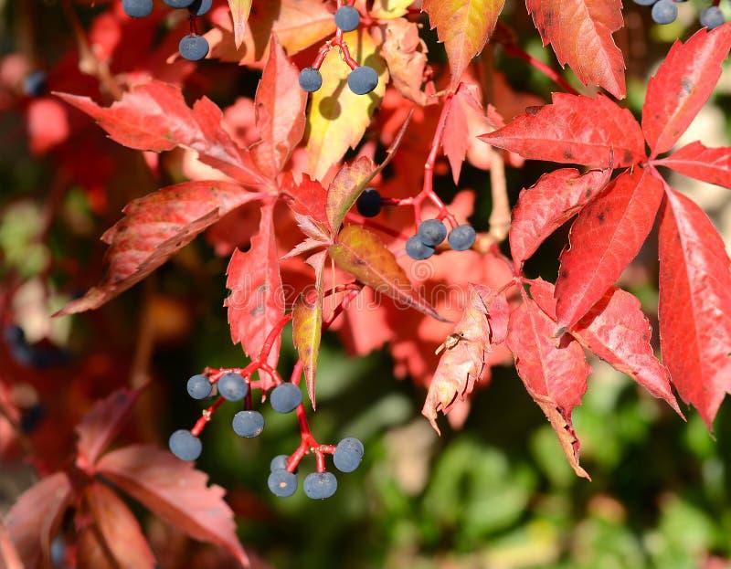 Virginia pełzacz (Parthenocissus quinquefolia) zdjęcie stock