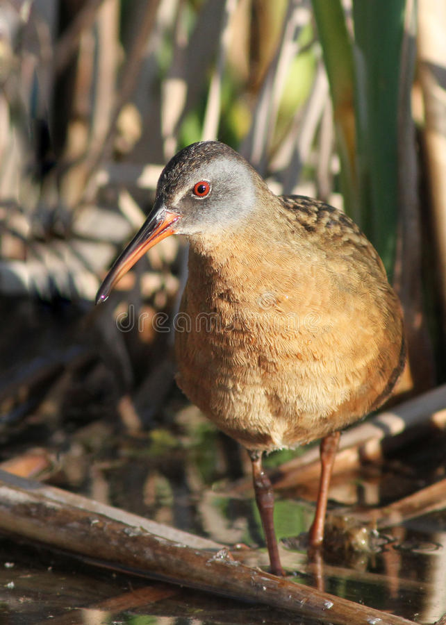 Download Virginia Rail Stock Photography - Image: 19786472