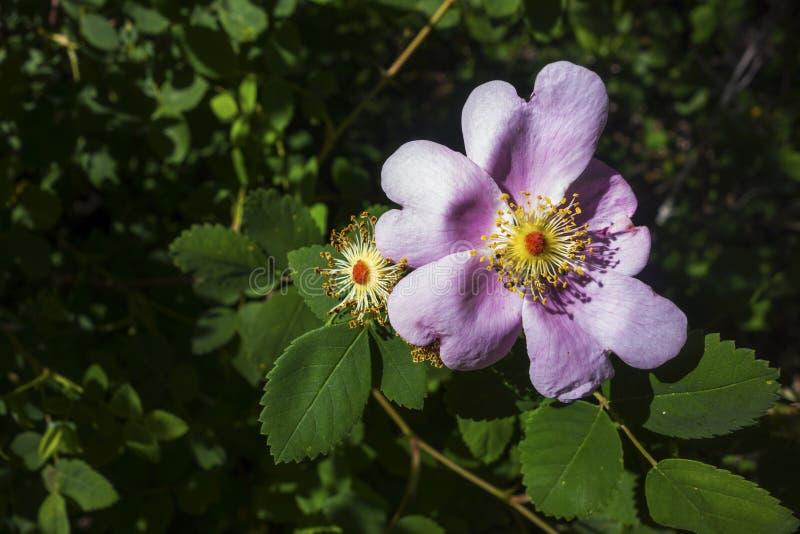 Virginia Rose Wildflower une fleur avec les pétales roses fleurissent des feuilles de vert de jardin de nature photographie stock libre de droits