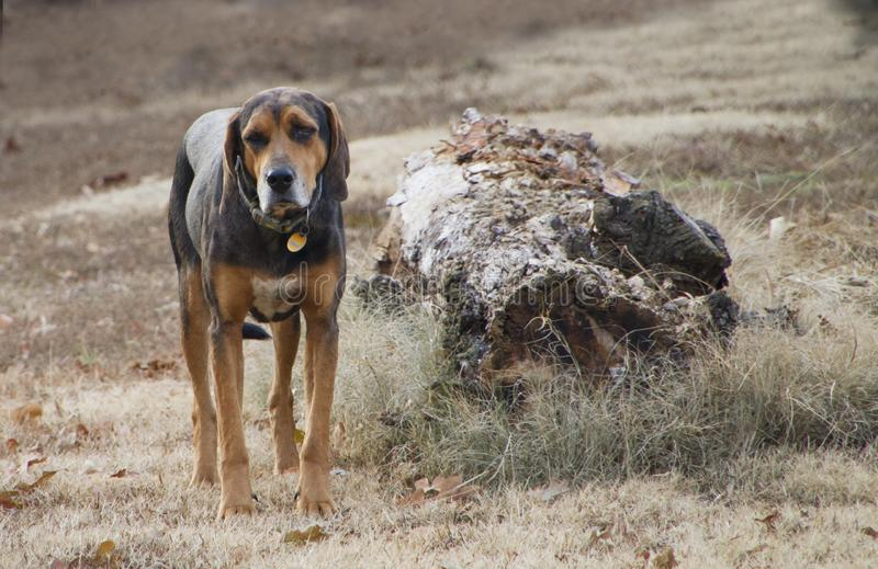 Hound dog standing in the grass by a dead tree trunk royalty free stock photo