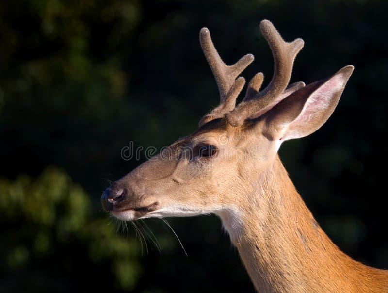 Download Virginia Whitetail Deer stock image. Image of portrait - 30544603
