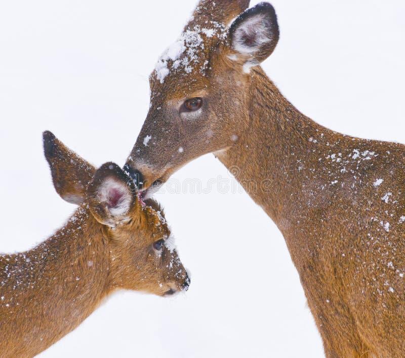Virginians atados brancos do odocoileus dos cervos que lambem fora da neve em sua jovem corça imagem de stock