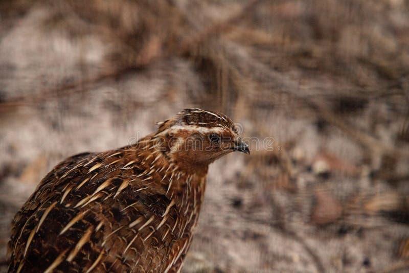 Virginianus do norte do Colinus do pássaro das codornizes foto de stock