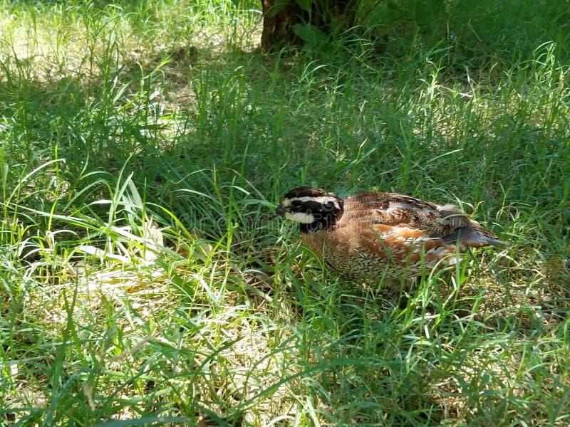 Virginische Wachteln im Gras lizenzfreies stockfoto