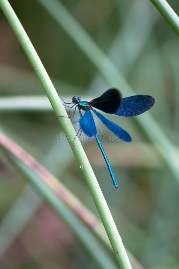 Virgo Calopteryx сушит свои крылья от росы стоковые фотографии rf