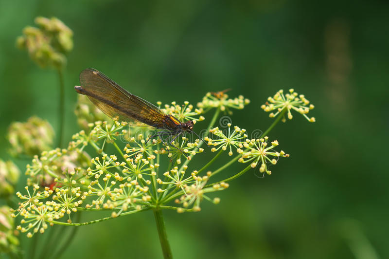 Virgo /female/ Calopteryx - dragonfly стоковые фотографии rf