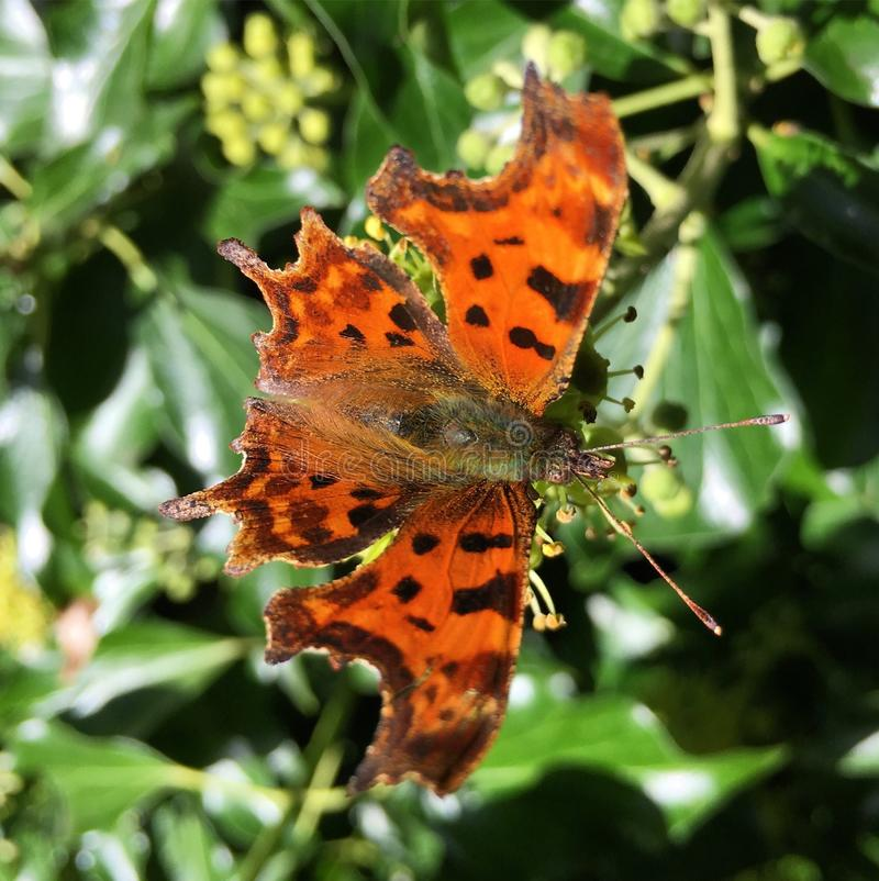 Virgule Butterly photographie stock
