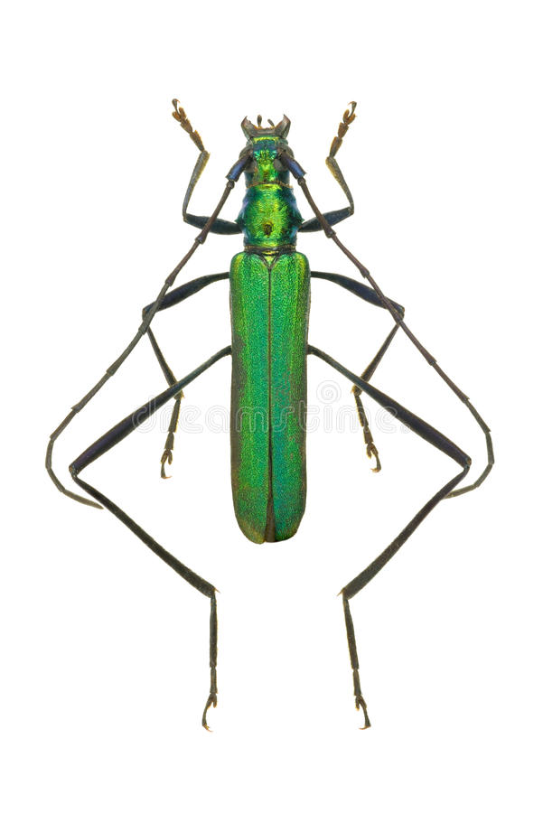 Viride de Chloridolum de coléoptère de Capricorne image libre de droits