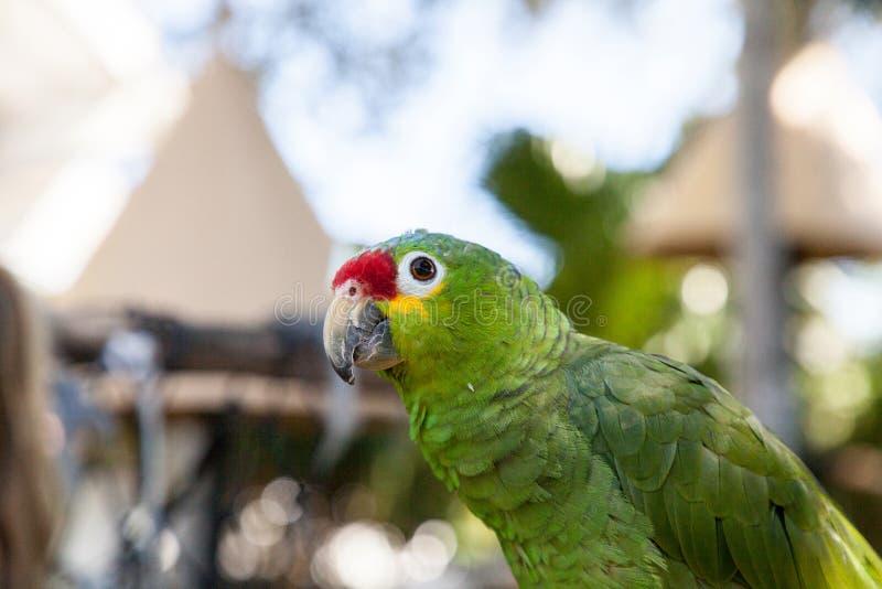 viridigenalis Vermelho-coroados do Amazona de amazon imagens de stock royalty free