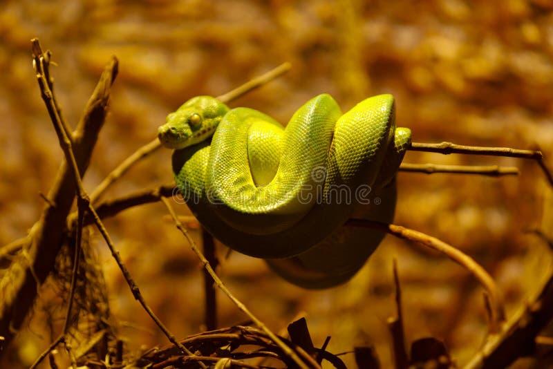 viridis δέντρων ονόματος κλάδων chondropython πράσινα λατινικά python στοκ φωτογραφίες