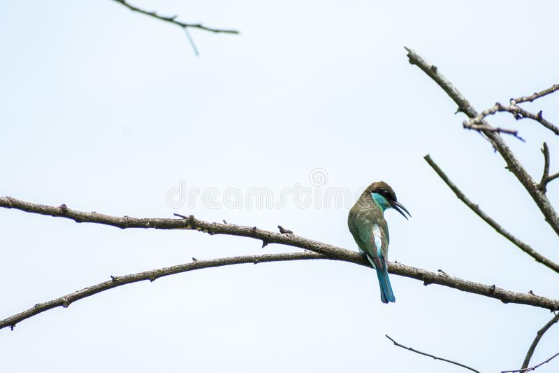 viridis Bleu-throated de Merops d'Abeille-mangeur étés perché et regard photographie stock