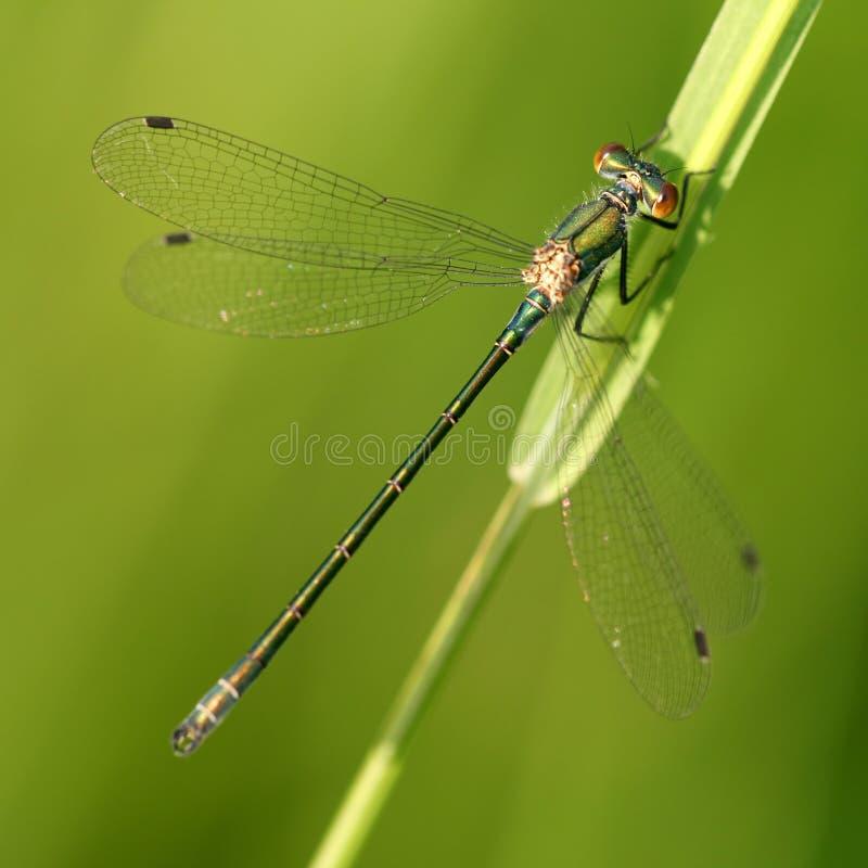 Viridis de Lestes de la libélula foto de archivo