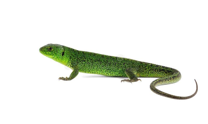 Viridis del Lacerta del lagarto (lagarto verde europeo) imagen de archivo
