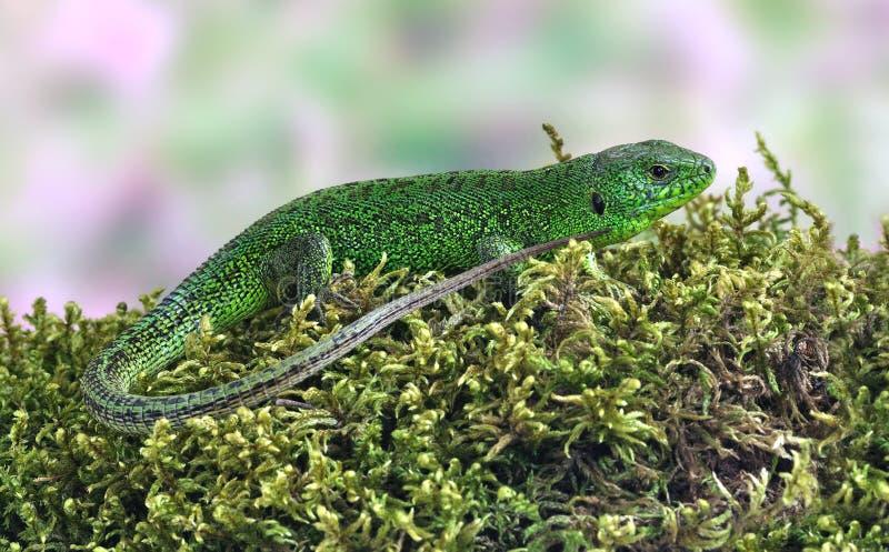 Viridis do Lacerta do lagarto (lagarto verde europeu) imagens de stock