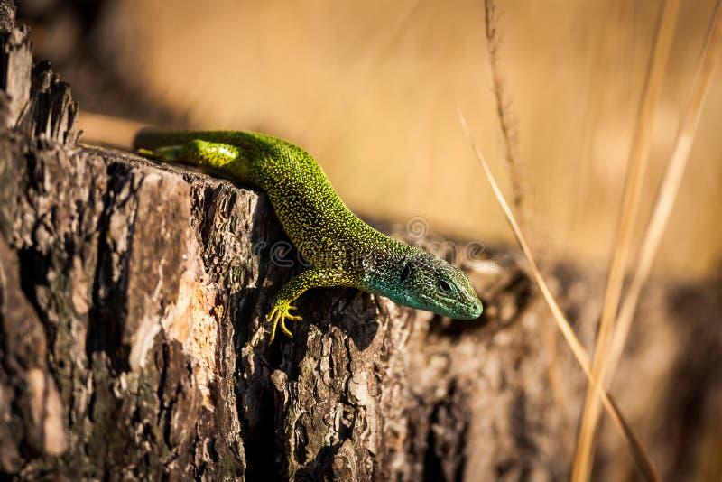Viridis europeos del Lacerta del lagarto verde fotos de archivo libres de regalías