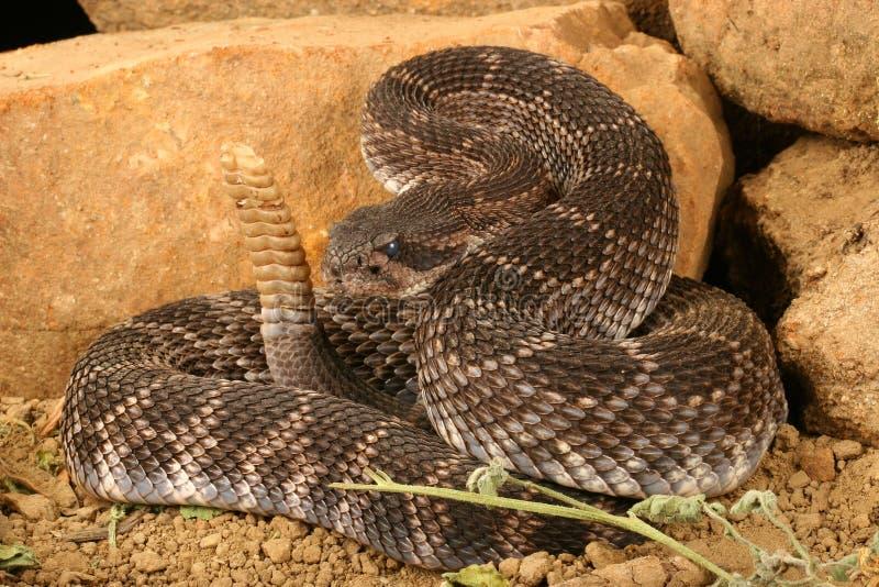 Viridis pacifici del sud del Crotalus del Rattlesnake fotografia stock libera da diritti