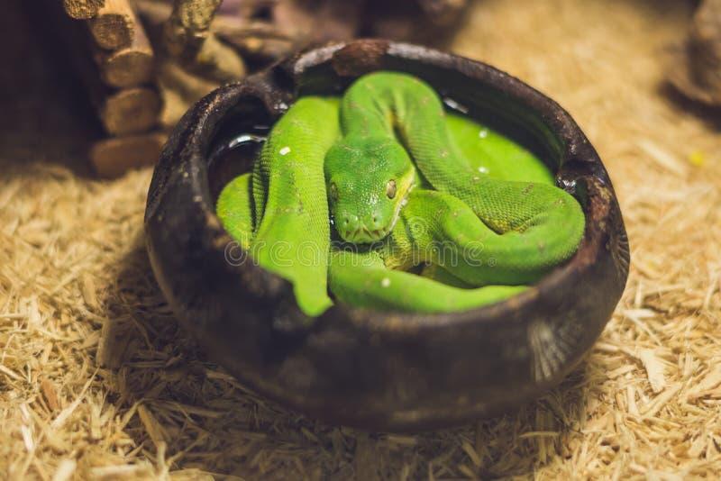 Viridis verts de Morelia de python d'arbre Jeune serpent vert plié photos stock