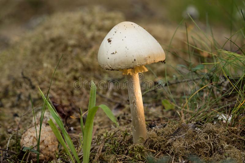 Virosa мухомора разрушая ангел смертельный ядовитый грибок базидиомицета Белый гриб, предпосылка окружающей среды стоковая фотография rf