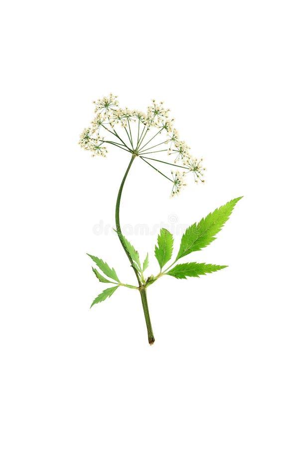 Virosa o agua-cicuta presionado y secado de la cicuta de la flor aislante foto de archivo libre de regalías