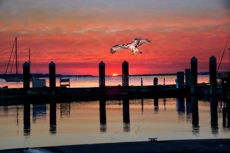 Osprey Descends Upon a North Florida Village Harbor as Sunset Approaches royalty free stock photo