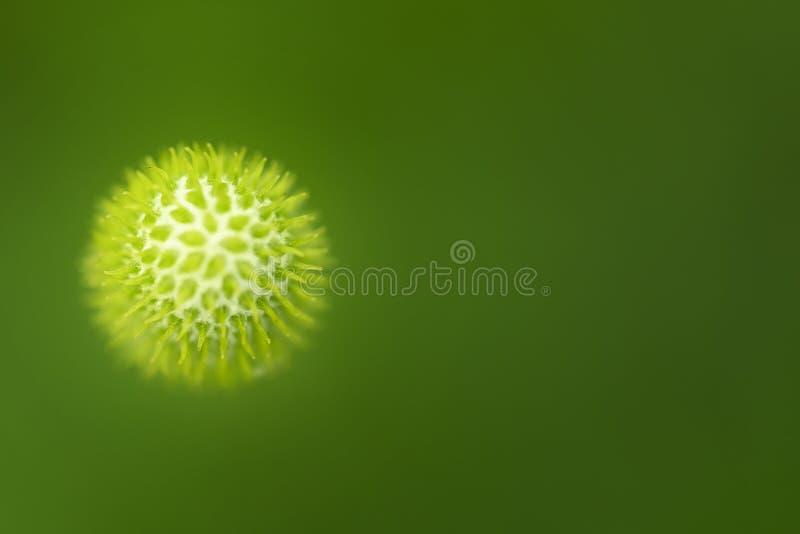 virus Immagine del primo piano di una cellula organica su fondo verde immagine stock libera da diritti