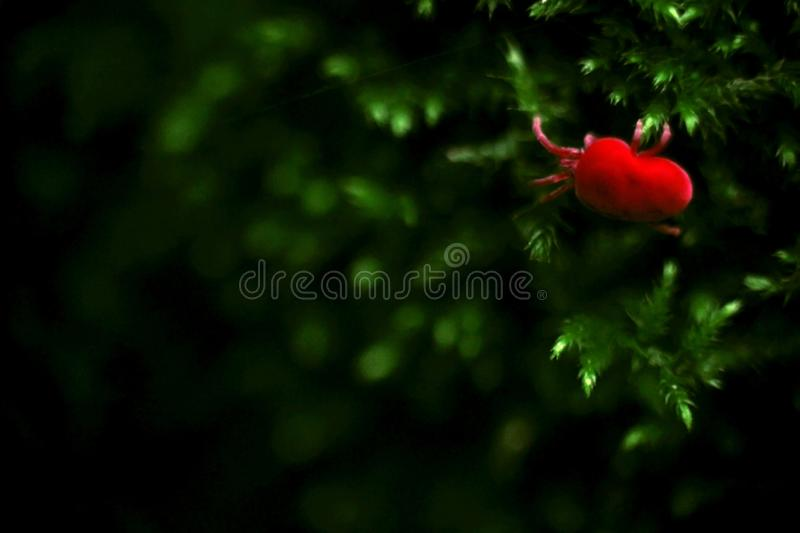 Virus Red Mite Insect crawls on Green Moss Nature Macro Photography Background royalty free stock photo