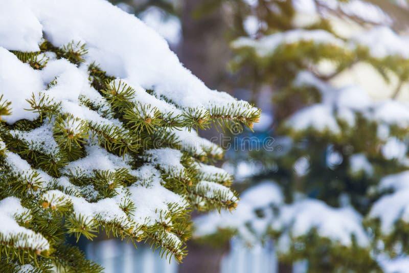 Viruta mullida suave blanca de la nieve en ramas de árbol de pino en un temprano fotografía de archivo