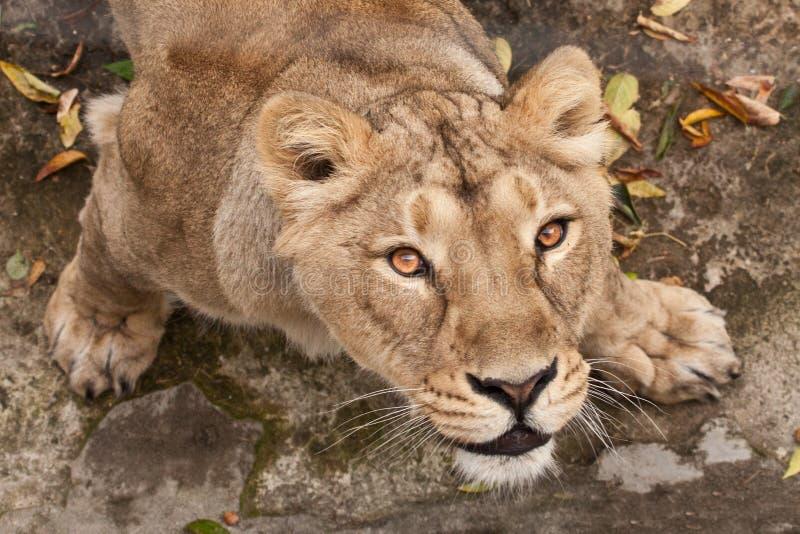 Visão olhar sedento de um gato predador grande de uma leoa fêmea de baixo para cima, os olhos definhados de um olhar marrom-ebony fotos de stock royalty free