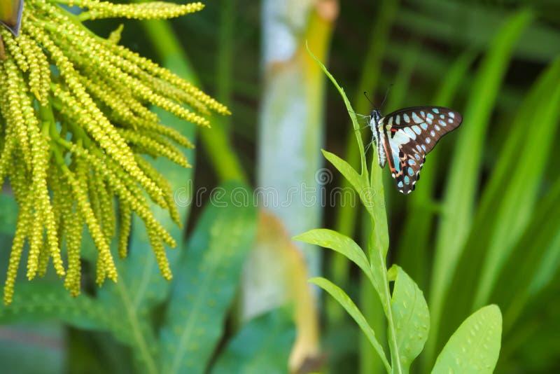 Visée absolument belle d'un papillon asiatique orange de bleu le plus étonnant, de noir et de coucher du soleil dans une jungle t images libres de droits