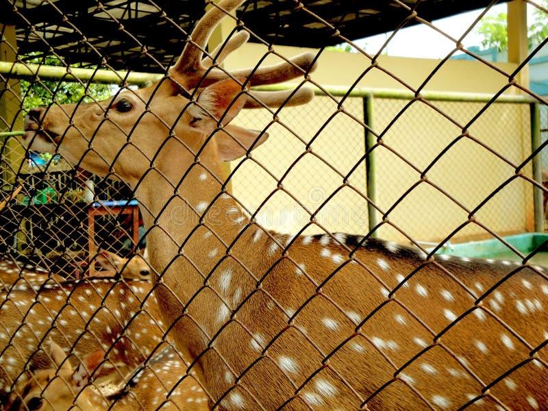 visées de cerfs communs, nature sauvage, fin  photos stock