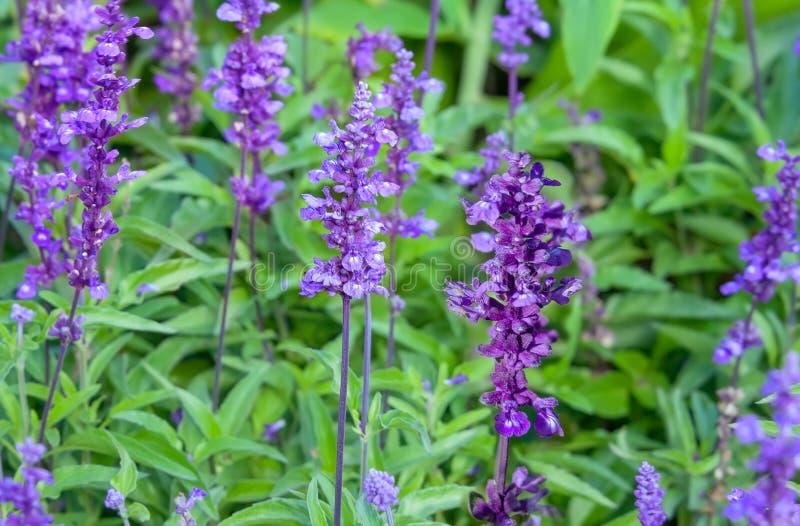 Vis man för Salvia officinalisträdgård som blommar i trädgården royaltyfri foto