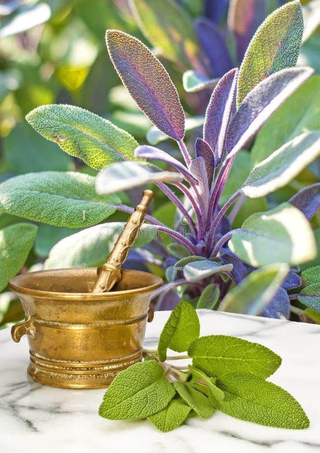 Vis man Salvia officinalis royaltyfri foto