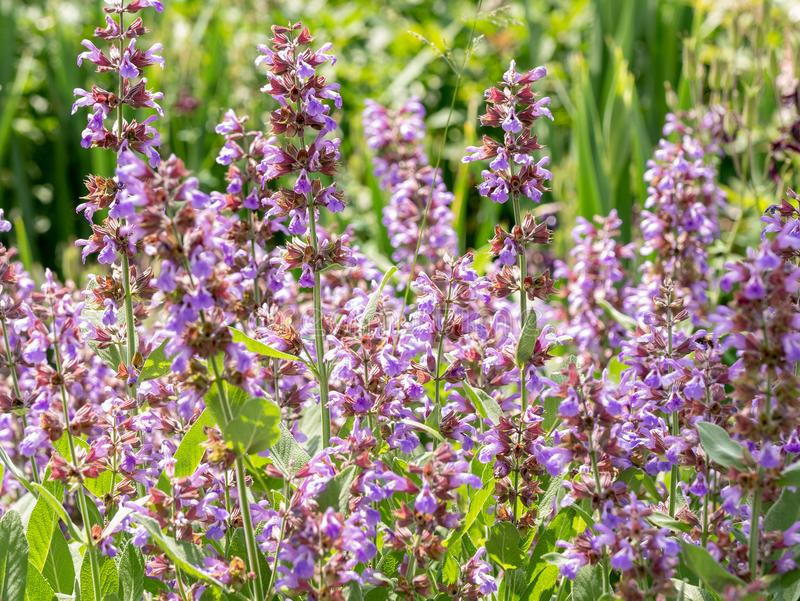 Vis man salviaofficinalis, i organisk trädgård Medicinsk ört, royaltyfri bild