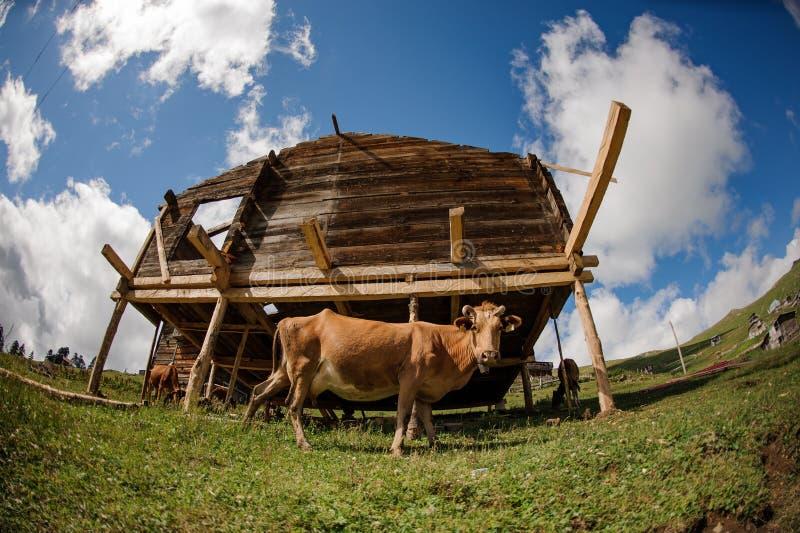 Vis-oog fotolandschap van het blokhuis op speciale steunen in de voorgrond van koe royalty-vrije stock foto