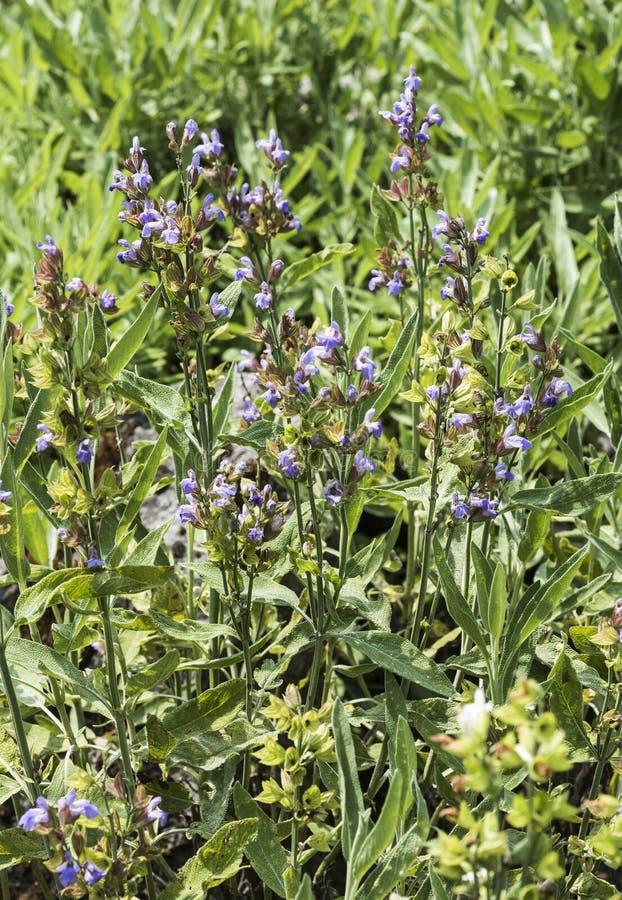 Vis växt i blomma arkivfoton