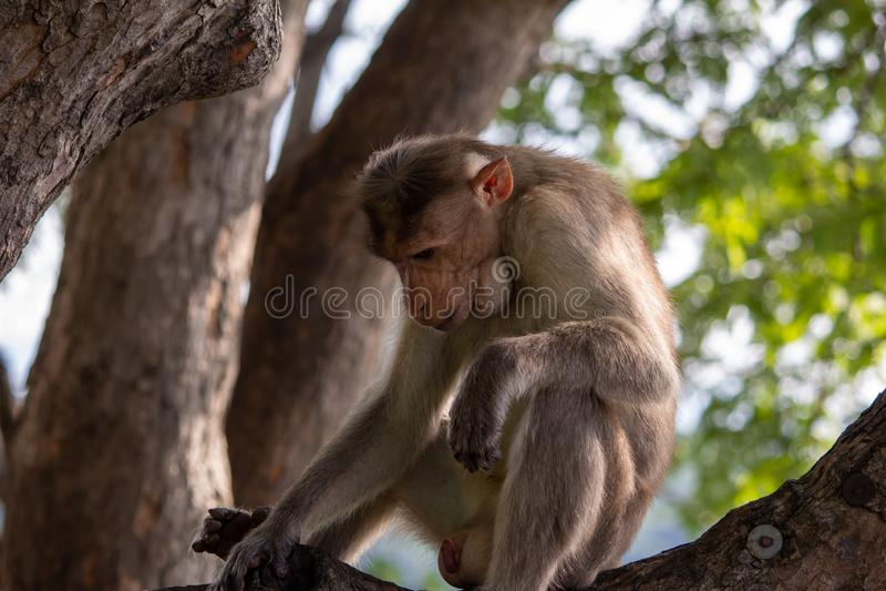 Visa en apa över en trädgren längs vägen till Yercaud i Salem-distriktet, Tamil Nadu, Indien royaltyfri fotografi