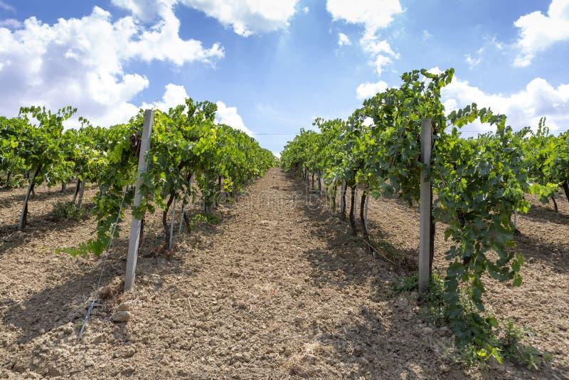 Visa på de soliga vinodlingarna i den italienska byn Cossignano royaltyfri bild